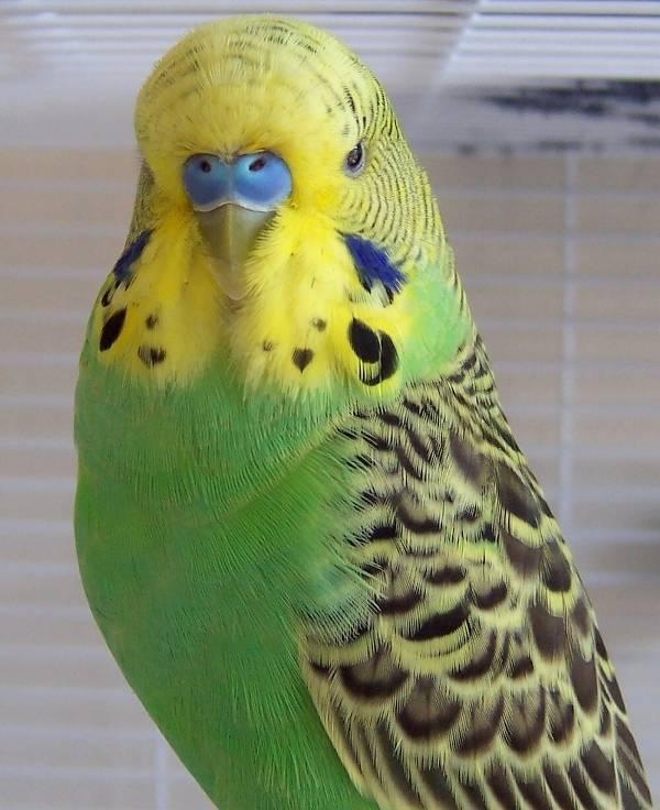 Темно-зеленый волнистый попугайчик фото