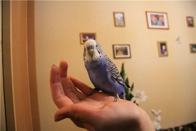 Фиолетовый волнистый попугай фото