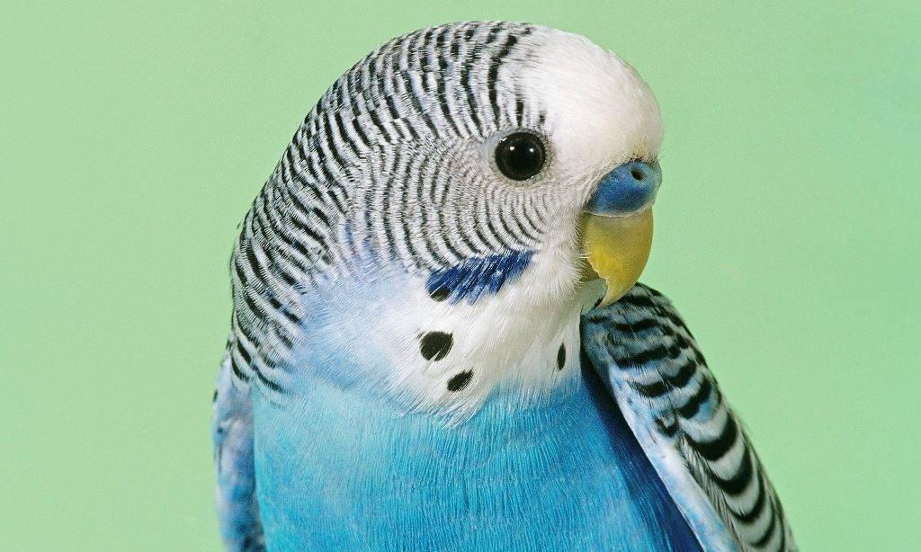 Фото клюва волнистого попугая