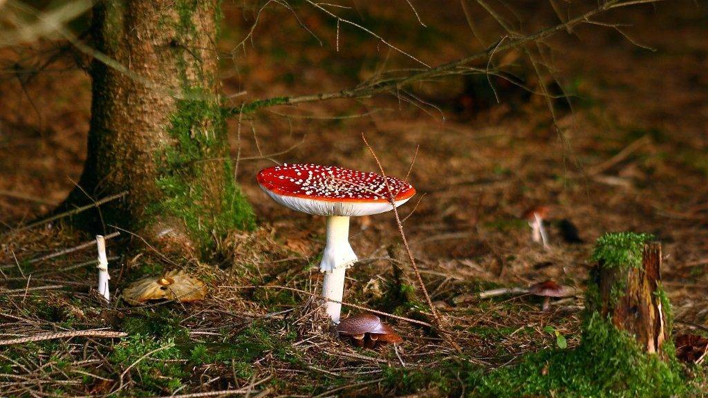 Фото мухомора красного в лесу
