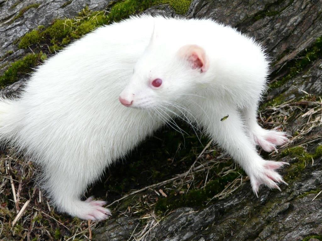 Хорек альбинос фото