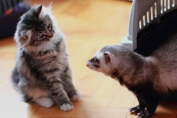 Хорек и кошка фото