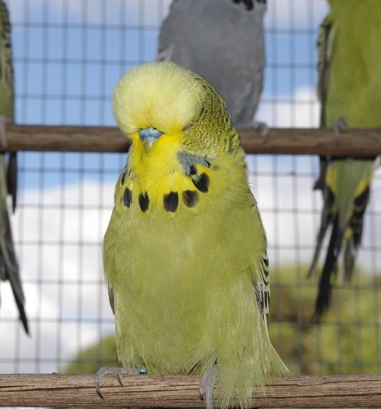 Хохлатый волнистый попугай фото