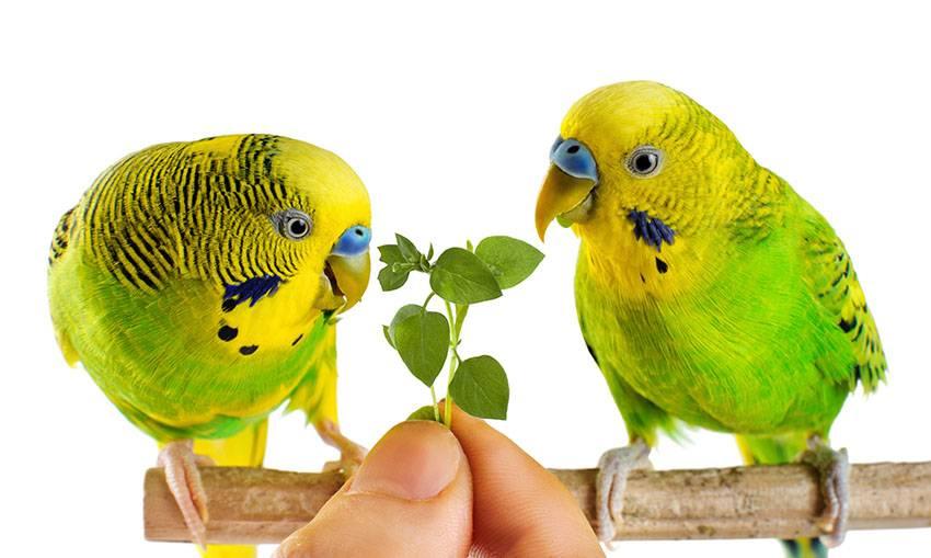 Чем кормить волнистого попугая в домашних условиях фото