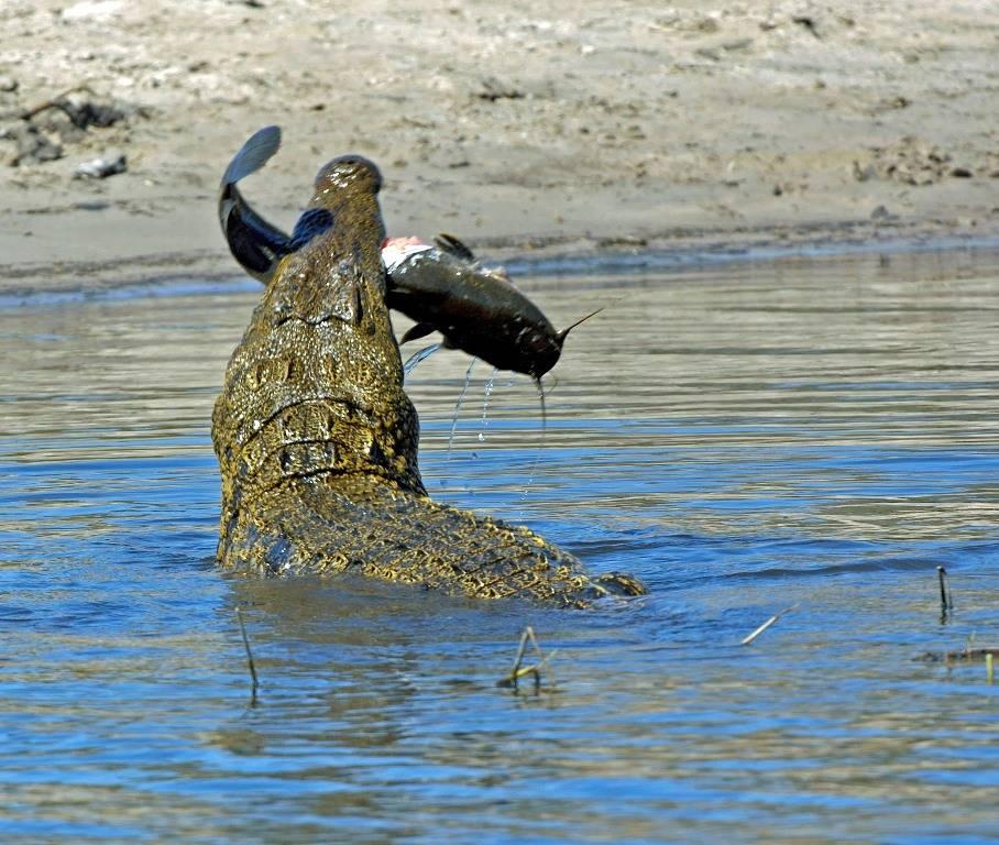 Чем питается нильский крокодил фото