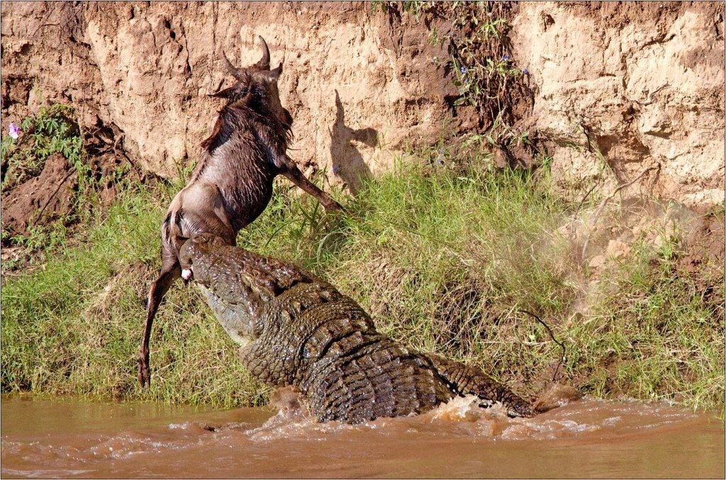 Что едят нильские крокодилы фото