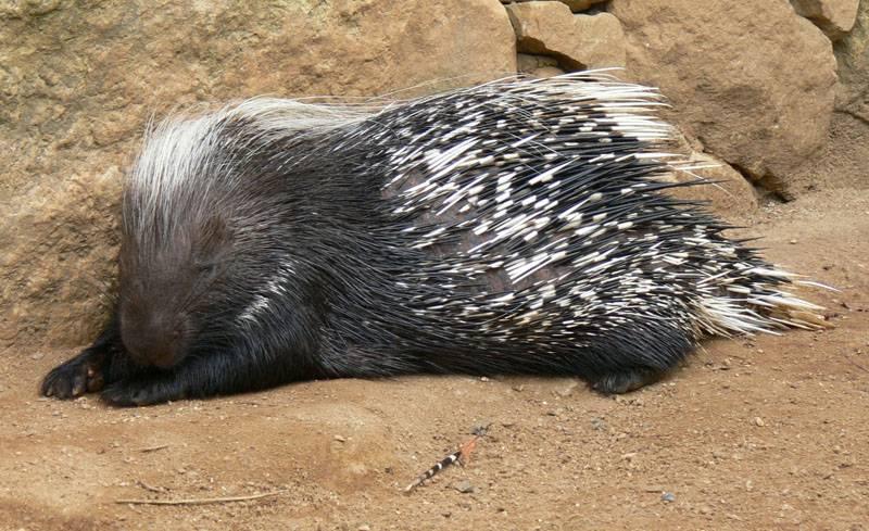Южноафриканский дикобраз фото (лат. Hystrix africaeaustralis)