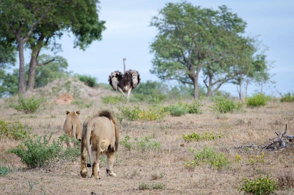 Враги страусов в природе фото