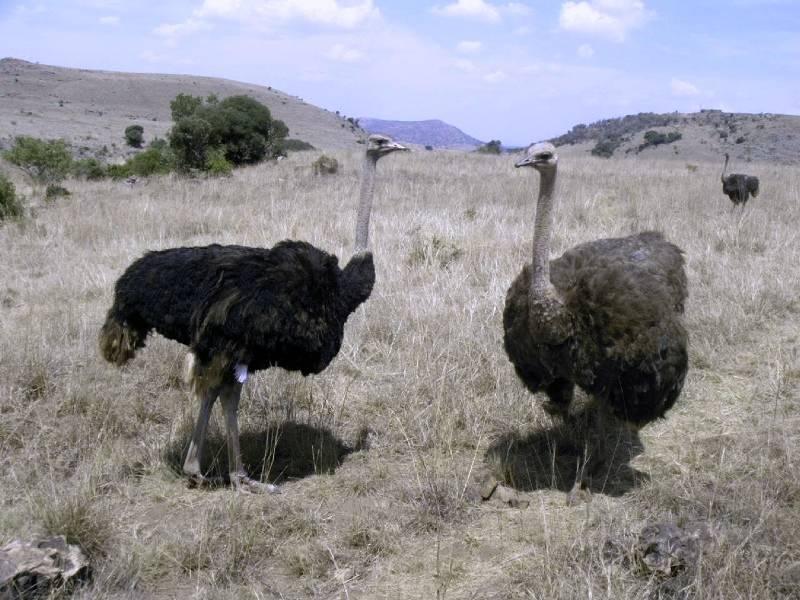 Где живут страусы фото