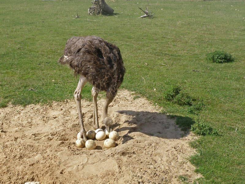 Гнездо страуса фото