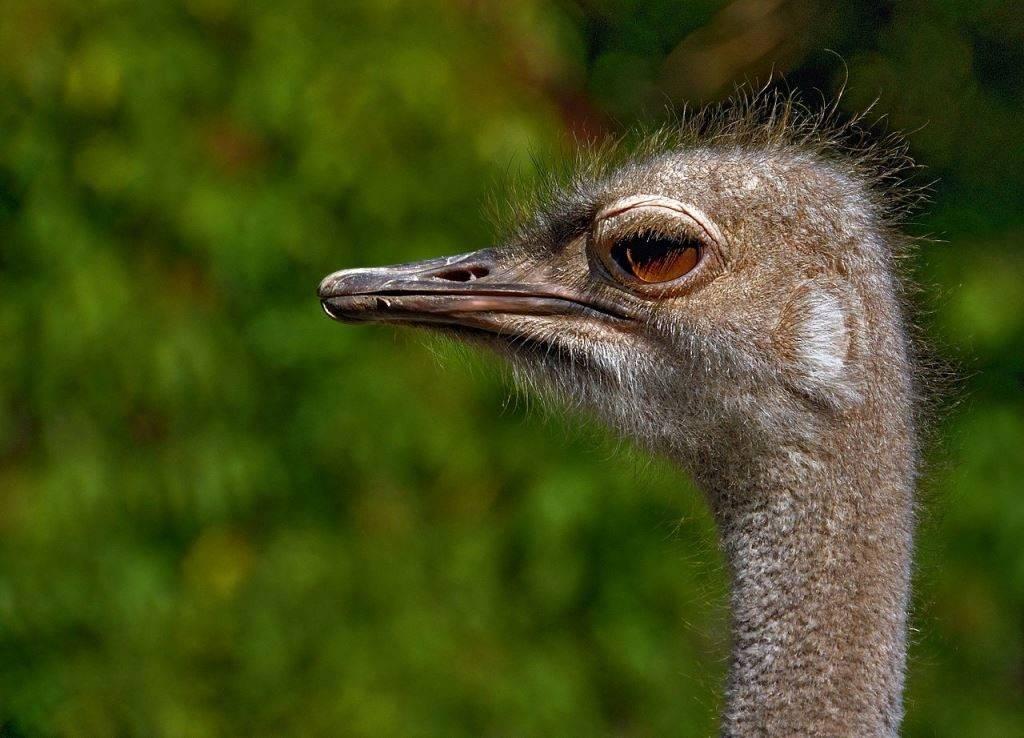 Голова и глаза страуса фото