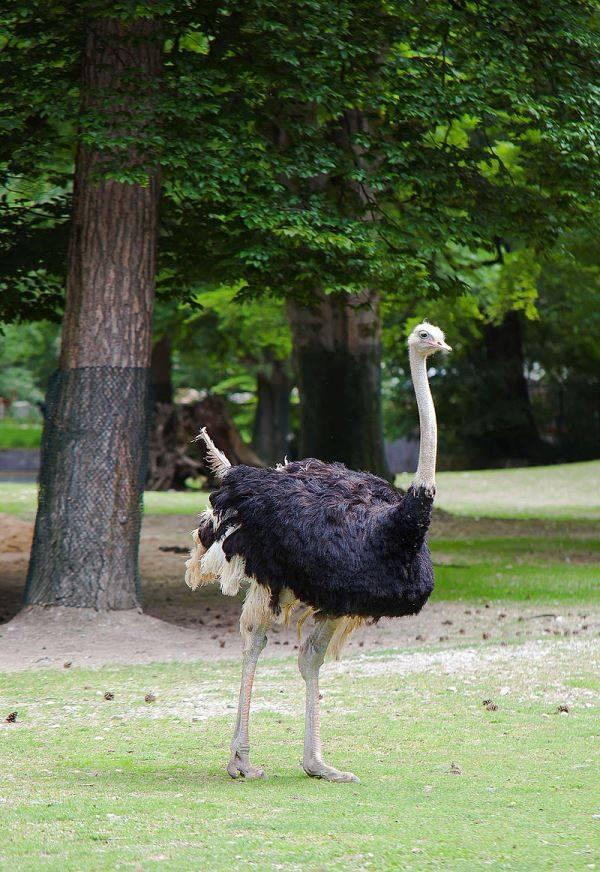 Грудь страуса фото