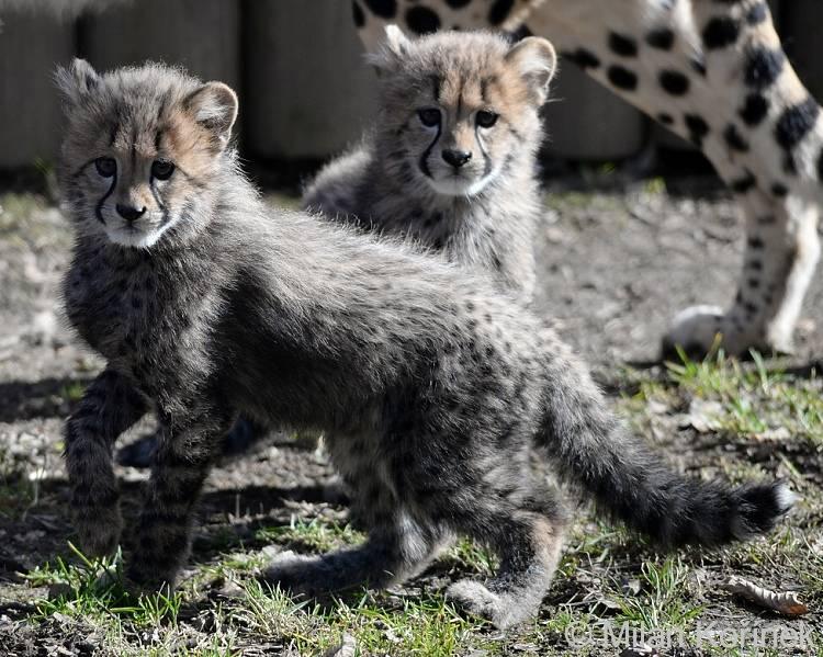 Детеныши гепарда фото