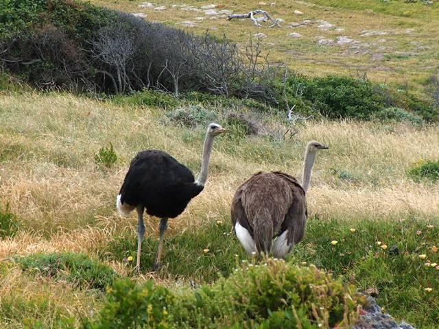 Как выглядит страус фото