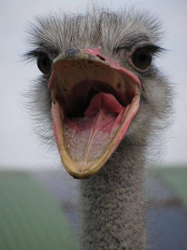 Клюв страуса фото