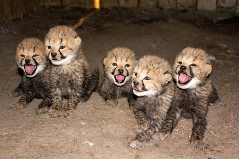 Котята гепарда фото