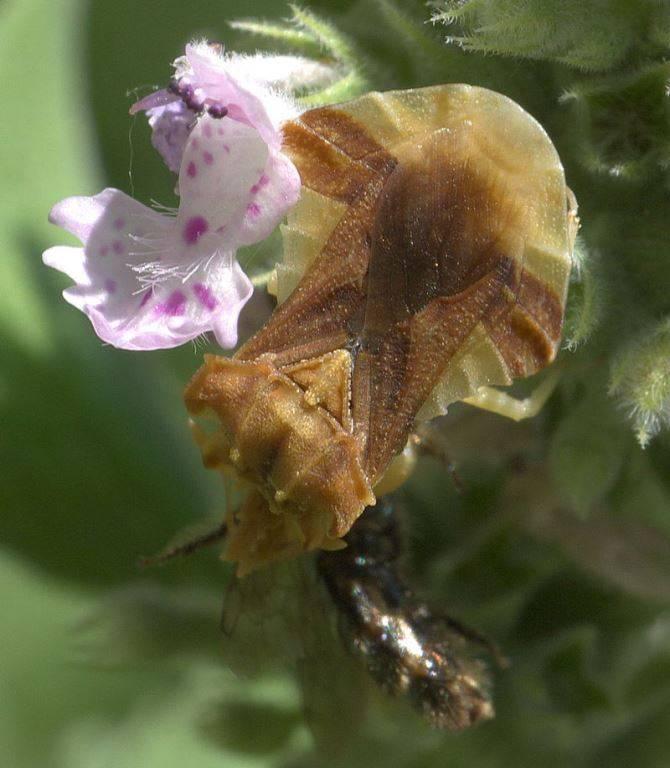 Крупноглав Phymata pennsylvanica фото (лат. Phymatidae, Phymatinae)