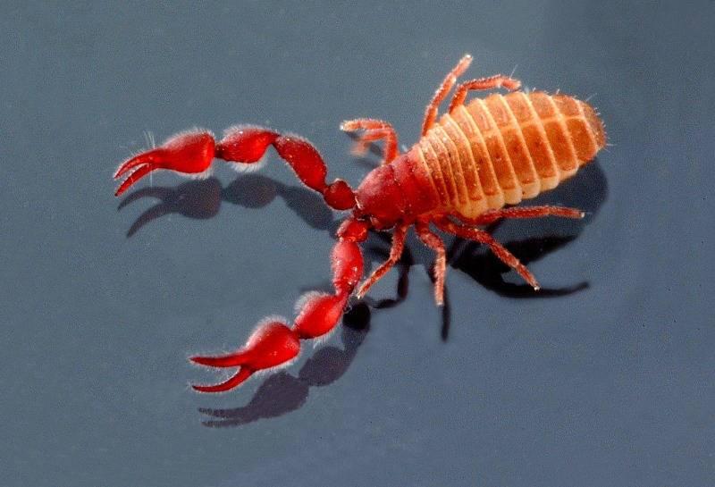 Ложноскорпион Lasiochernes cretonatus фото