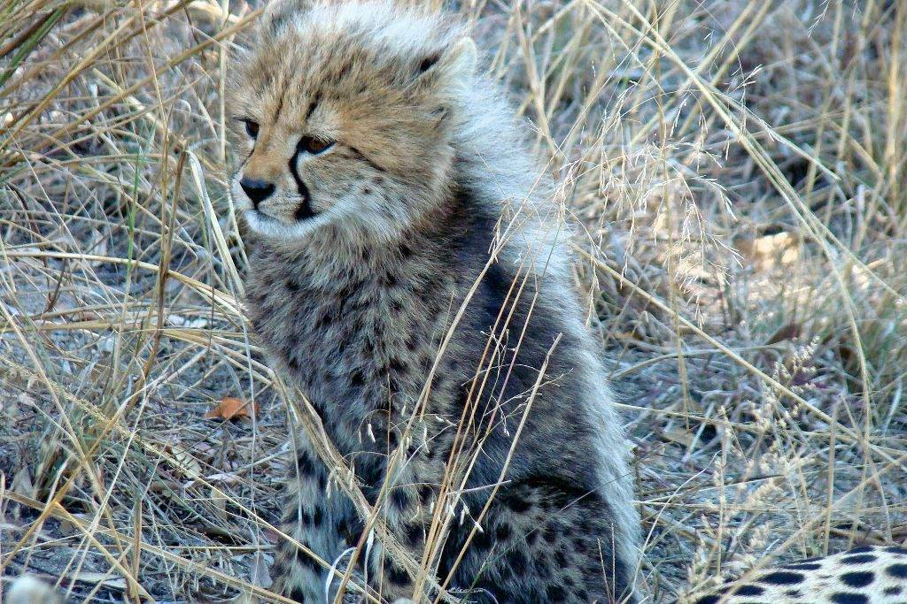 Маленький гепард фото