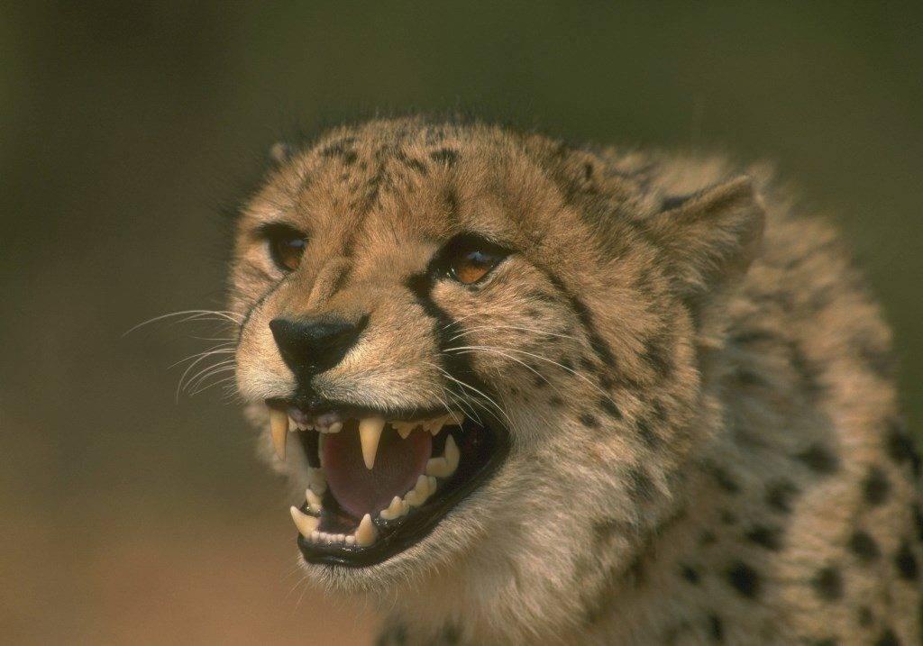 Оскал гепарда фото