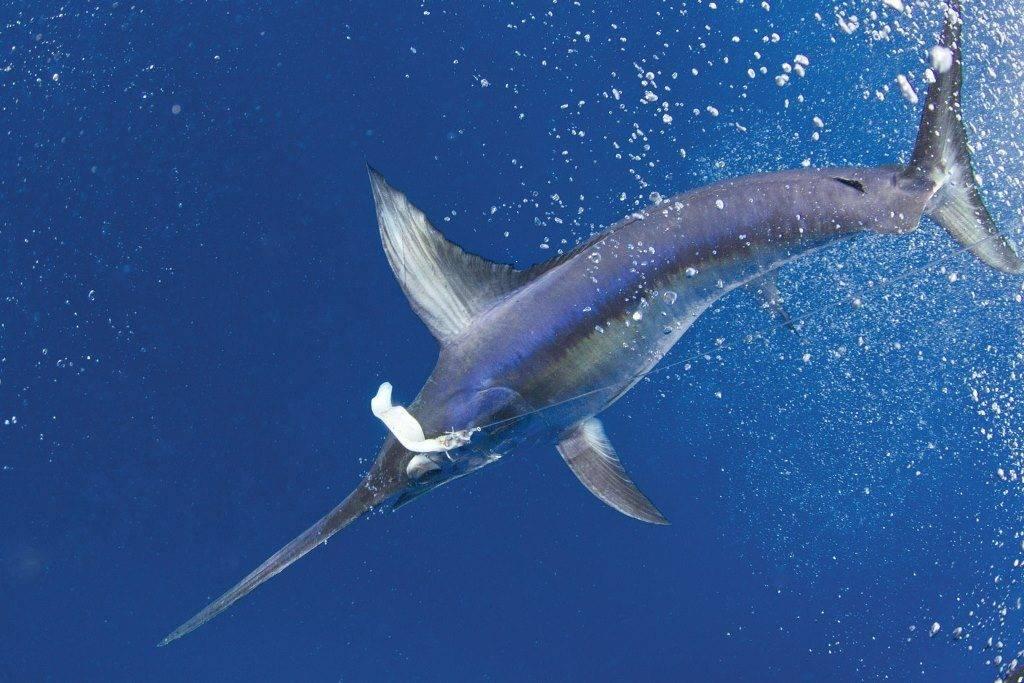 Рыба меч картинки