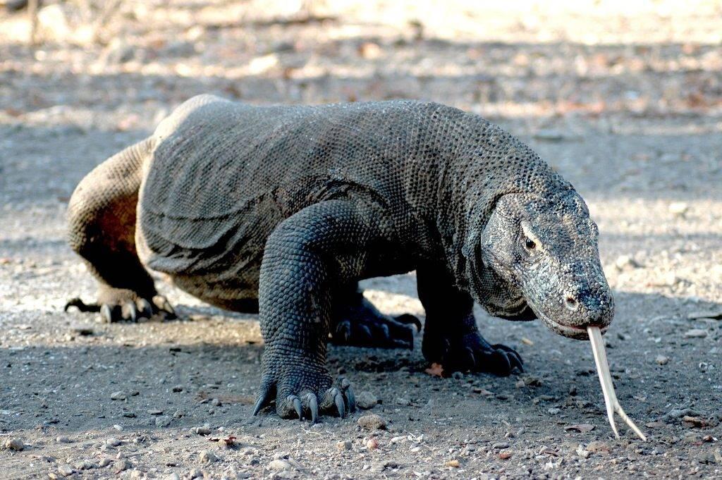 Самая большая ящерица в мире фото