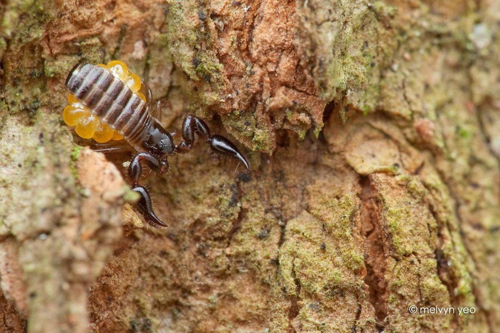 Самка и яйца ложноскорпиона фото