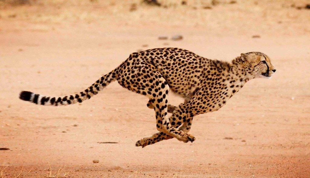 Самое быстрое животное в мире гепард фото