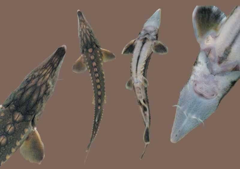 Сахалинский осетр фото (лат. Acipenser mikadoi)
