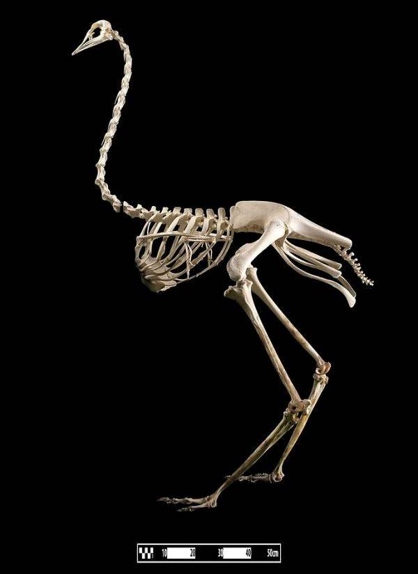 Скелет страуса африканского фото