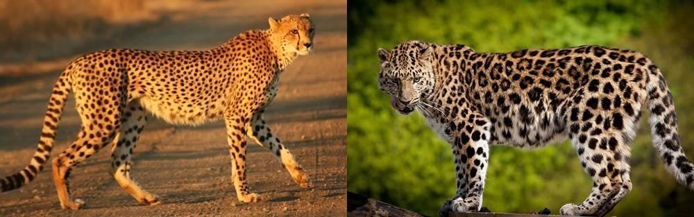 Фото гепарда и леопарда