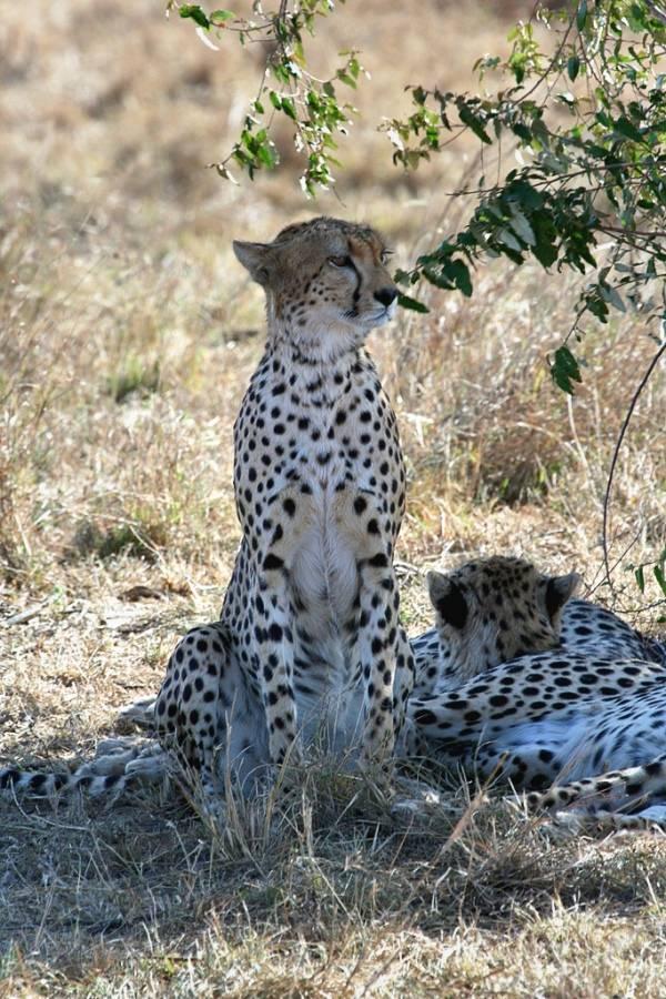 Фото гепардов в природе