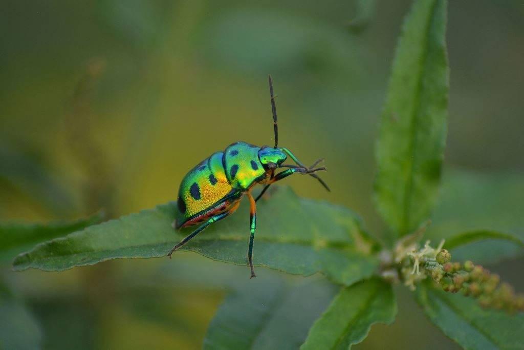 Хоботок клопа фото (вид Scutelleridae)