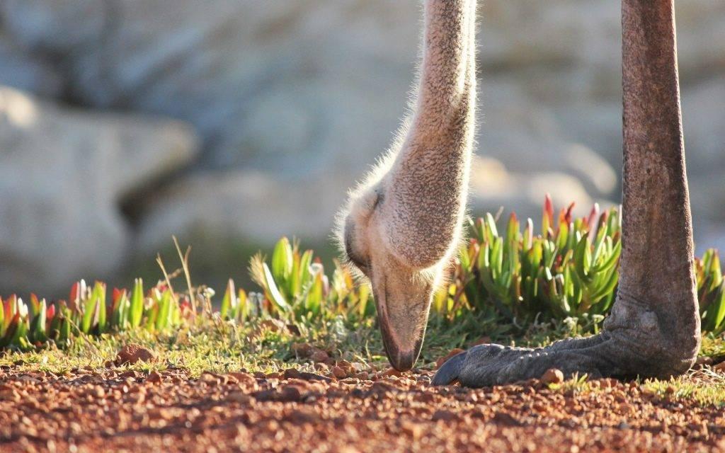 Что едят страусы фото