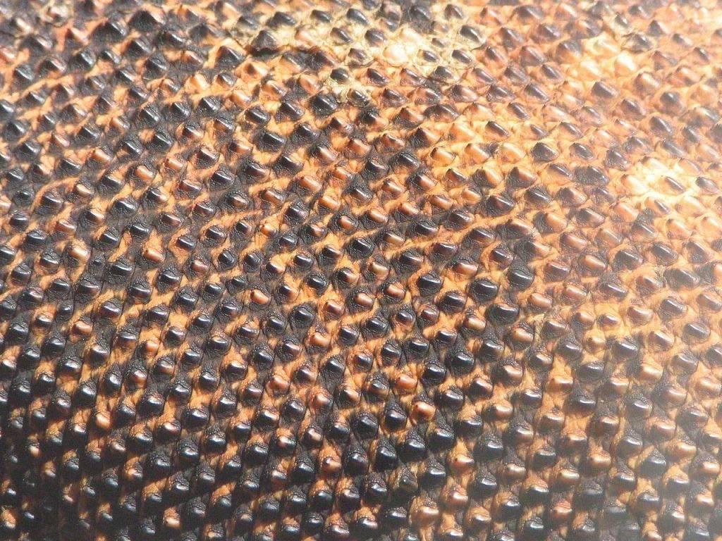 Шкура комодского варана фото