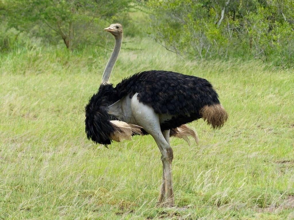 Южный страус самец фото (лат. Struthio camelus australis)
