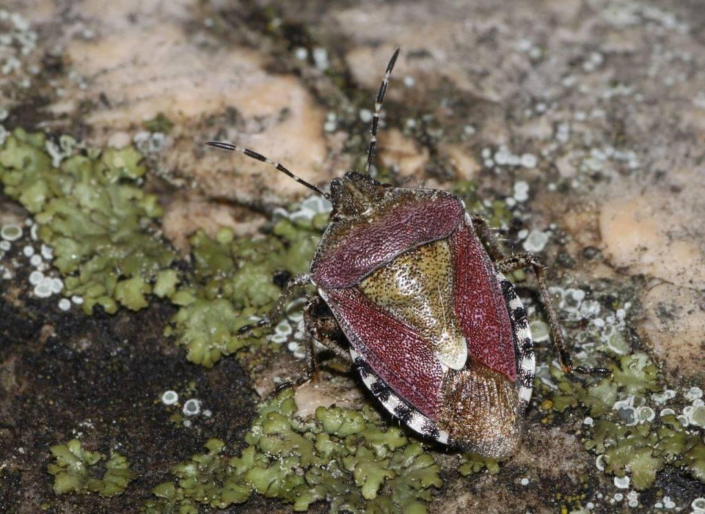 Ягодный клоп (щитник ягодный) фото (лат. Dolycoris baccarum)