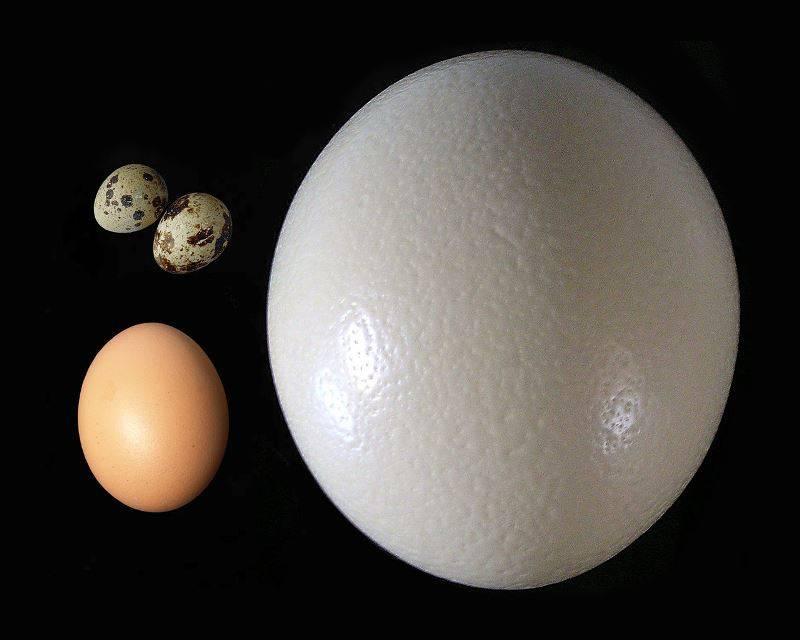 Яйцо страуса в сравнении с яйцом курицы и перепела фото