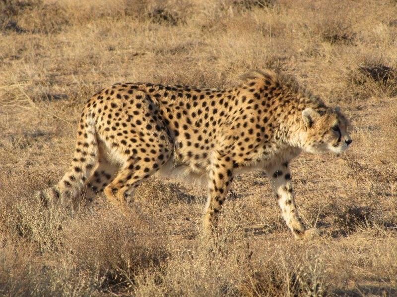 Азиатский гепард фото