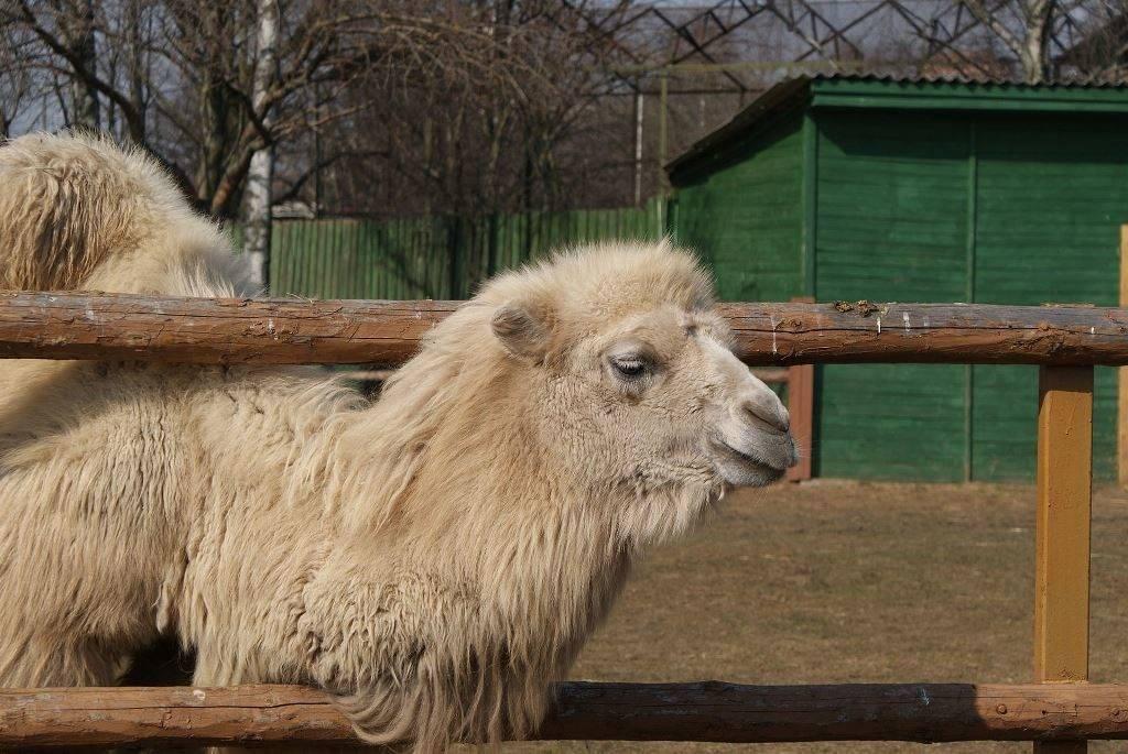 Белый верблюд бактриан фото