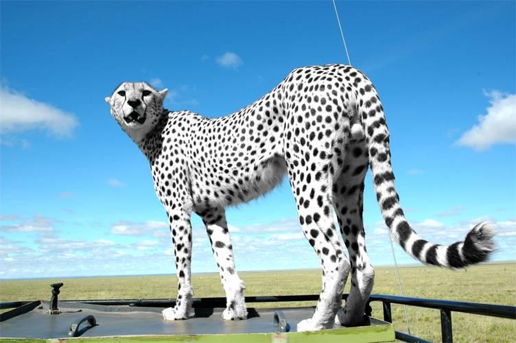Белый гепард фото