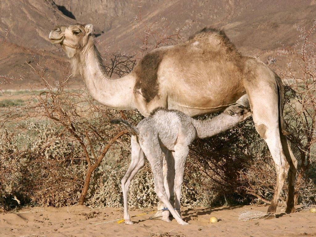 Верблюд с верблюжонком фото