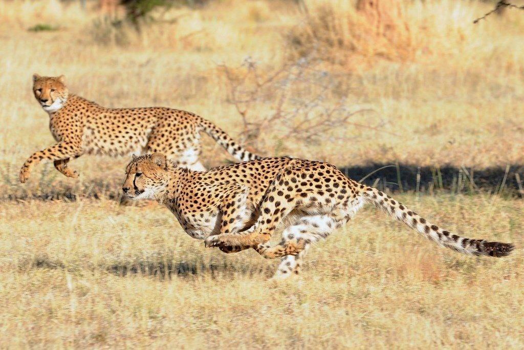 Где живет гепард фото