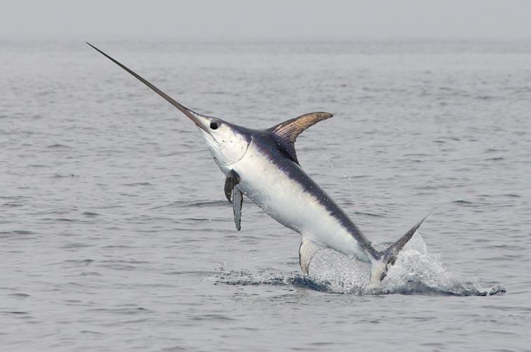 Где живет меч-рыба фото