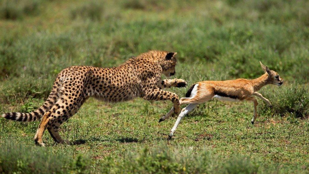 Гепард охотится на антилопу фото