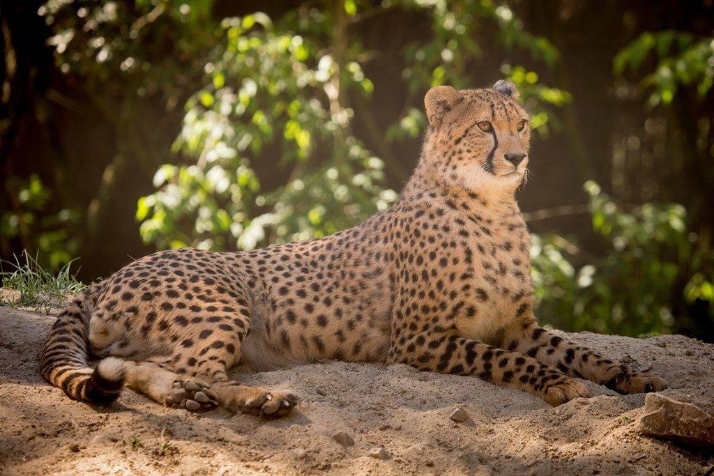Гепард фото животного