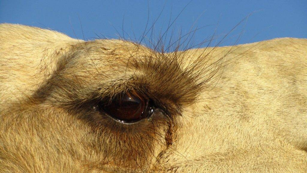 Глаза верблюда фото