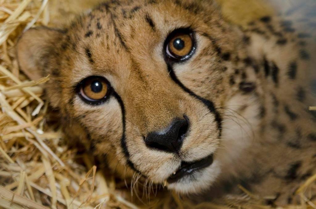 Глаза гепарда фото