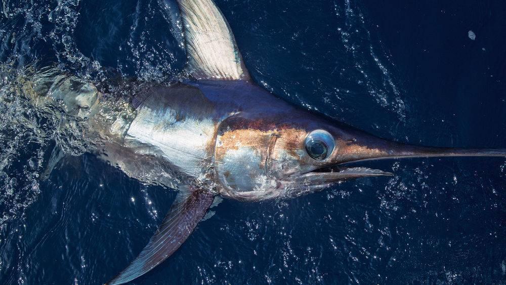Глаз меч-рыбы фото