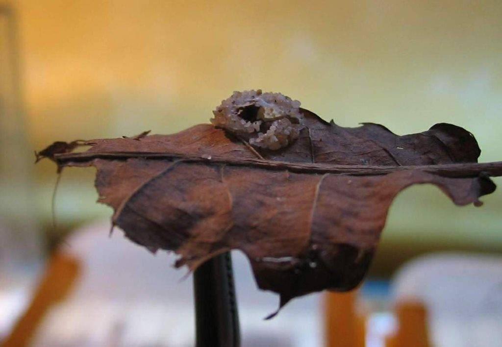 Гнездо ложноскорпиона фото